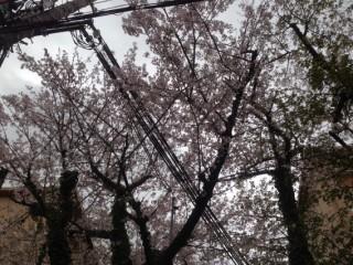 sakura-kumori