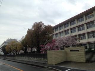 sakurazukakoukou-sidarezakura